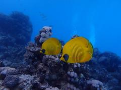 Egypte - Marsa Mubarak (gil35les) Tags: plongée mer rouge egypte égypte marsa alam poisson papillon jaune citron chaetodon semilarvatus mubarak corail