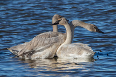 Trumpeter Swans (Lynn Tweedie) Tags: trumpeterswan loessbluffsconservationarea blue water 7dmarkii feathers tail eos sigma150600mmf563dgoshsm wing missouri bird canon beak ngc animal