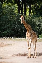 Giraffe (Cloudtail the Snow Leopard) Tags: giraffe giraffa animal mammal säugetier tier zoo dresden