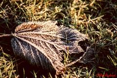 Frozen leaf (red.richard) Tags: leaf frost grass closeup flora scotland nikon d800