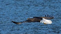 Bald Eagle (nickinthegarden) Tags: americanbaldeagle baldeagle eagle harrisonriver harrisonmillsbccanada