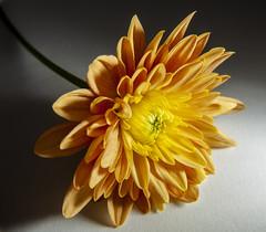 MacroMonday - HardLight (OnkiPonki) Tags: macromondays hardlight flower macrolens macromania macro orange canon eos 5d