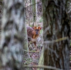 A deer spying on me (smithadam830) Tags: deer animal d5600 nikon wild wildlife wood trees