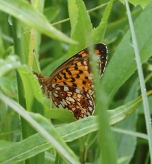 Silver-bordered Fritillary (Boloria selene Denis & Schiffermüller) 06-10-2016 Owl Road, St. Louis County, MN 4 (Birder20714) Tags: insects minnesota butterflies lepidoptera nymphalidae