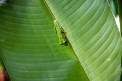 DSC_5577 (stacyjohnmack) Tags: costarica frog redeyedtrrefrog