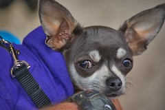On High Alert (Scott 97006) Tags: chihuahua dog petite small alert canine animal pet cute ears watching eyes