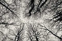 Tentaculaire (explore - 4 Mars 2019) (Yoda302) Tags: whiteandblack noiretblanc ciel sky branche wood bois