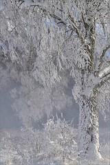 Met such winter? / Встречали такую зиму? (SerenitySS) Tags: january frost winter blizzard tree branches birch graphics blackwhite monochrome fantasticnature beautiful excellent amazing welldone