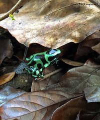 Green and Black Poison Dart Frog (sbuckinghamnj) Tags: frog costarica poisondartfrog greenandblackpoisondartfrog