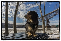 Hudson River Hound (* Gemini-6 *) Tags: dachshund dog pet animal trees framed sky clouds water ice winter snow bridge table hudsonriver river waterfront face