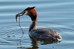 great crested grebe (DODO 1959) Tags: wildlife greatcrestedgrebe avian birds fauna water perch animal nature outdoor fish waterfowl olympus omdem1mk2 micro43 300mmf4 x14 england rspbhamwall somerset torview hide