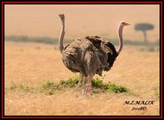 MALE AND FEMALE OSTRICHES (Struthio camelus)......MASAI MARA......SEPT 2018. (M Z Malik) Tags: nikon d800e 400mmf28gedvr kenya africa safari wildlife masaimara keekoroklodge exoticafricanwildlife exoticafricanbirds ostrich ngc npc