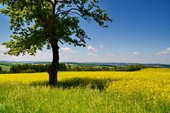 Raps bei Niedertiefenbach (antje whv) Tags: niedertiefenbach rheinlandpfalz baum tree landschaft landscape raps