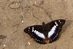 Mimathyma ambica ssp. miranda  - Chiang Dao_20180203_1441_DSC_7864_DxO (I love comments but delete awards - Jan F. Rasmuss) Tags: thailand d800 butterfly butterflies macro closeup insecta lepidoptera rhopalocera nikon janfischerrasmussen janfrasmussen asia southeastasia nymphalidae nymphalid nymphalids apaturinae mimathymaambicasspmiranda mimathymaambica mimathyma ambica miranda chiangmai chiangmaiprovince chiangdao