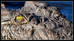 Alberto Carrera (AC ALBERTO CARRERA) Tags: albertocarrera nile crocodile crocodylus niloticus choberiver reptil reptilia animal zoology ecology fauna biology wild wildlife nature free safari game reserve ecosystem sanctuarie natural kalahari river chobe national park savuti savute kasane botswana africa spain