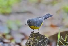 Jardín Botánico Universidad de Caldas (jhonfredyravesalazar) Tags: birds aves colombia caldas udec jardínbotánico avistamiento pajariar nikon sigma manizales