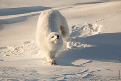 Artic fox (Mary Bassani) Tags: canada articfox volpe volpeartica fox snow white wildlifephotographer wildlife winter whitenature naturewildlifephotographer nature animalplanet animallovers ngc mammal manitoba churchill