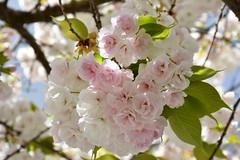 DSC_4280 (griecocathy) Tags: macro arbre fleurs tiges feuille grappe blanc rose vert marron bleu