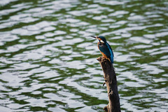JAP_4174ps (coper.vukovic20) Tags: d7100 70300 70300vr king fisher vodomar nature river danube serbia alcedo atthis kingfisher