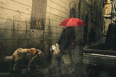Leash (Alessio Trerotoli) Tags: street photography rain raindrops umbrella dog photo candid life color roma rome italy italia pioggia melancholia sadness