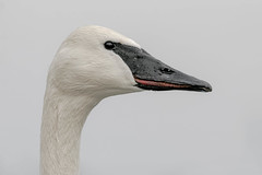 Trumpeter Swan Portrait (ayres_leigh) Tags: swan portrait animal bird duck head canon wildlife trumpeter