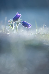 Pasqueflower (Benjamin Joseph Andrew) Tags: flower wildflower grassland spring growing purple plant