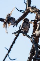 Near Miss (iamfisheye) Tags: gujarat 300mm vr february nikon f4 naturetrek india d500 raremammalsandbirdsofgujarat xqd afs tc14iii pf sassangir 2019