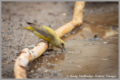 Female Crossbill Drinking (www.andystuthridgenatureimages.co.uk) Tags: crossbill female drink drinking green finch large beak pool puddle suffolk forest woodland branch uk