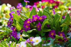 Frühlingsblumen (Mathias Leon Fischer) Tags: primula primeln blumen flower colors makro frühling spring blüten a7r3 sony a7r iii