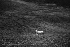 At that moment, we were connected. (Daryl Luk) Tags: italy goat animal field blackandwhite monochrome tuscany summer farm