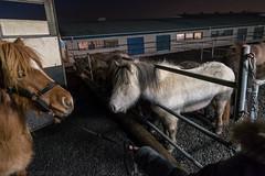 Dynur frá Holtsmúla 1, the official ambassador of the Holtsmúla/Heimsenda clan greets Stjarna frá Holtsmúla 1 (olikristinn) Tags: 2018 27122018 december december2018 holtaoglandsveit holtsmúli holtsmúli1 iceland icelandichorses landsveit rangárþingytra southiceland suðurland hestar horses úrvalshestar
