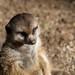 Meerkat: San Diego Zoo Safari Park