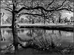 When Everything Is Black Or White... (Picture post.) Tags: landscape nature green monochrome water reflections pool trees sheep winter paysage fields countryside arbre eau reeds