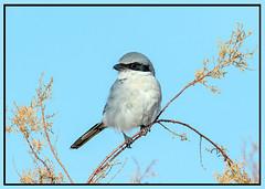 Loggerhead Shrike (Ed Sivon) Tags: america canon nature lasvegas wildlife wild western southwest desert clarkcounty flickr vegas birdofprey henderson nevada preserve