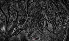 Dark Hedges Photographer (lfeng1014) Tags: darkhedgesphotographer darkhedges gameofthrones beechtrees countyantrim northernireland uk avenueoftrees treetunnel canoneos5dmarkiii ef70200mmf28lisiiusm bw landmark landscape trees photographer travel lifeng