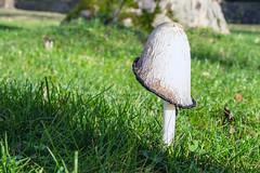 Mushroom (Bephep2010) Tags: 2018 7markiii alpha au auzh herbst ilce7m3 pilz sel1635z schweiz sony switzerland wiese zurich zürich autumn fall meadow mushroom ⍺7iii kantonzürich ch