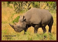 BLACK RHINOCEROS (Diceros bicornis).....MASAI MARA.....SEPT 2017 (M Z Malik) Tags: nikon d3x 200400mm14afs kenya africa safari wildlife masaimara keekoroklodge exoticafricanwildlife rhino ngc npc