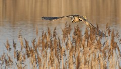 Bittern_5459 (marsh and moor) Tags: nikon d850 wildlife nature bird bittern rspb dungeness