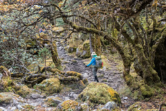 Trekker in the forest en route to Tampoe Tsho - Wangdue Phodrang district - Snowman Trek - Bhutan (PascalBo) Tags: nikon d500 asie asia southasia asiedusud drukyul drukgyalkhap bhutan bhoutan འབྲུག་ཡུལ། འབྲུག་རྒྱལ་ཁབ་ snowman trek trekking hike hiking lunana wangduephodrang himalaya himalayas forest arbre tree vegetation forêt trail footpath sentier outdoor outdoors pascalboegli trekker