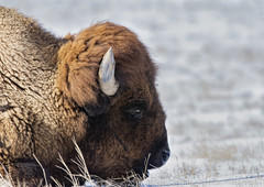 Bison (Ciavatta Photography) Tags: bison colorado wildlife rockymountainarsenal brown horn snow ground