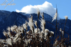 Reed in beautiful backlight (chk.photo) Tags: outdoor salzburg austria clouds backlight landscape nature light ngc natur naturewatcher naturemasterclass mountain