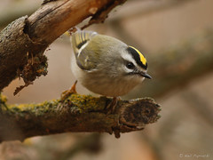 Golden-crowned Kinglet (npaprock) Tags: idaho nezperce goldencrownedkinglet kinglet regulus regulussatrapa