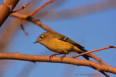 "Ruby-Crowned_Kinglet_04 (DonBantumPhotography.com) Tags: wildlife nature birds animals rubycrownedkinglet smallgreenbird ""donbantumphotographycom"" ""donbantumcom"""