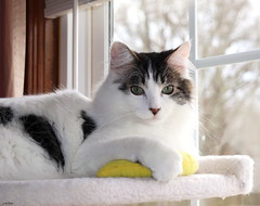 Bananas (Lisa Zins) Tags: noah white whitewithtabbymarkings dmh cat feline petsandanimals pets animals lisazins play playing cattree toys cattoys february2 2019 toy