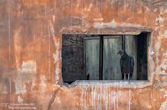 Patience (Darren Barnes Photography) Tags: patience vulture bird lima peru limaperu south america southamerica dwoodphotography dwoodphotographycom orange black avian wildlife 2017