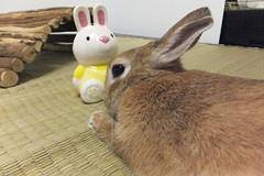 Ichigo san 1493 (Errai 21) Tags: いちごさん うさぎと一緒 ichigo san  ichigo rabbit bunny cute netherlanddwarf pet ウサギ うさぎ いちご ネザーランドドワーフ ペット 小動物 1493