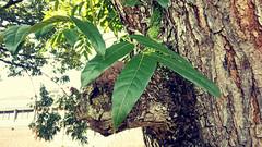 Pohon Mahoni / Mahogany Tree (setiawanap) Tags: setiawanap setiawanapvlog indonesia tanaman tumbuhan daun bunga buah batang plants tree leaf flower fruit mahoni mahogany pohon