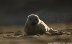 Seal Pup (Alastair Marsh Photography) Tags: seal sea seals greyseal greyseals greysealpup greysealpups pup pups animal animals animalsintheirlandscape wildlife sunlight sun sunset sunrise dawn dusk beach coastline coast britishwildlife britishanimals britishanimal britishmammals britishmammal babymammal baby babyanimal mammal mammals mammalsociety