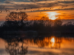 Sunset Murmuration (Ian M Bentley) Tags: stanwick stanwicklakes lakes water trees tree geese wildgeese candiangeese anatidae island colours colors countrypark northamptonshire rockinghamforesttrust endc rushden wellingborough olympus omd em1ii 14150mm tamrom wideangle blue red orange yellow murmuration flocking flying flight silhouette silhouettes outdoor sky reflections mirror mirrored goldenhour winter january afternoon serene landscape waterscape england uk europe goldenpond goldenwater goldensky golden glorious lake park sunset dusk endoftheday waterfowl