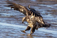 eagle-2034 (Bob Patton) Tags: audubon auduboncenteratriverlands birds eagle mississippiriver corpsofengineers river riverlandsmigratorybirdsanctuary